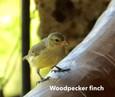Finch-woodpecker.jpg