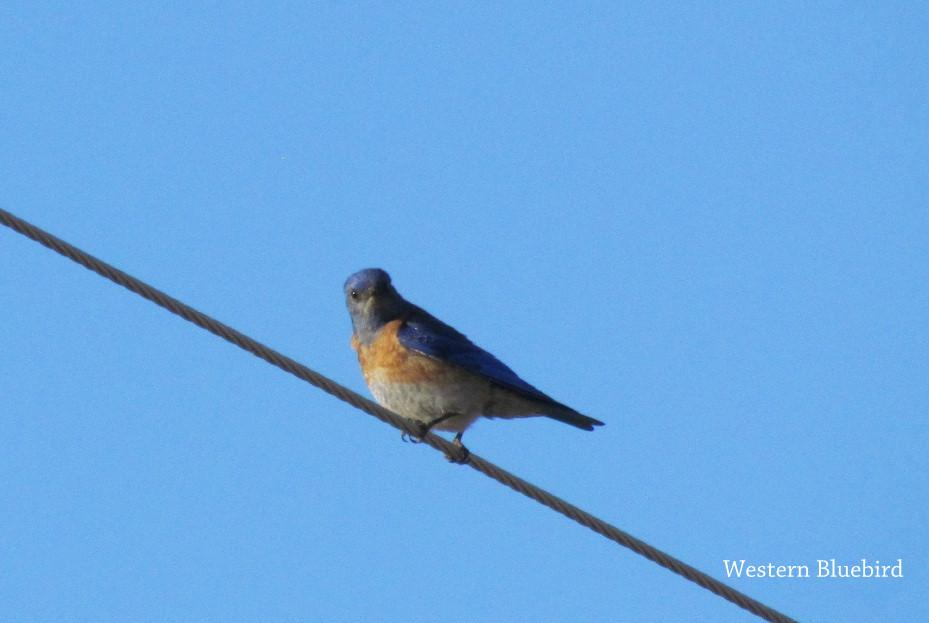 Bluebird - Western.JPG