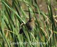 Sparrow-Savannah.jpg
