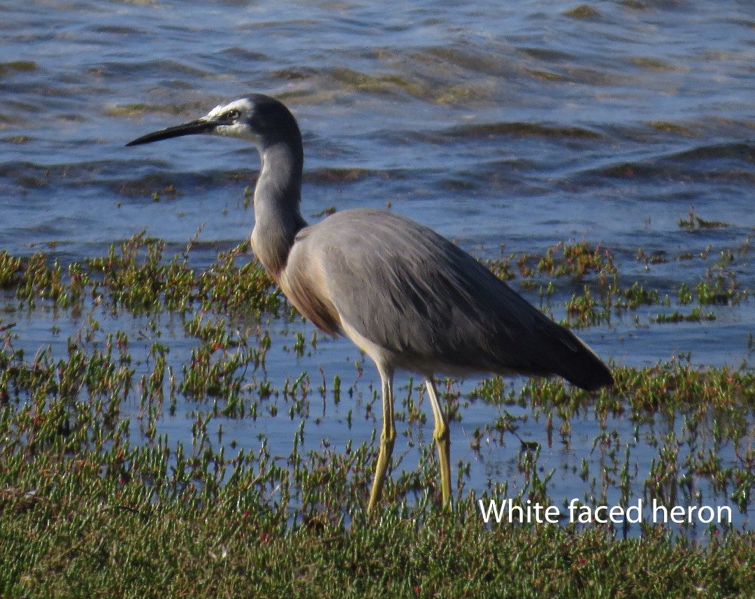 Heron - White Faced.JPG