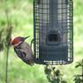 Woodpecker - ladder Back M.JPG