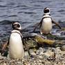 Penguin - Mellagenic.JPG