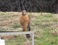 Hawk - Red Shouldered (2).JPG