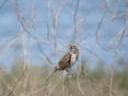 Sparrow - Eastern Song.JPG