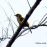 Oriole _ Yellow.JPG