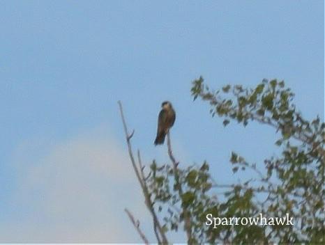 Hawk-Sparrow.jpg