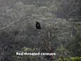 Caracar-Red throated.jpg