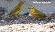 Warbler-yellow.jpg