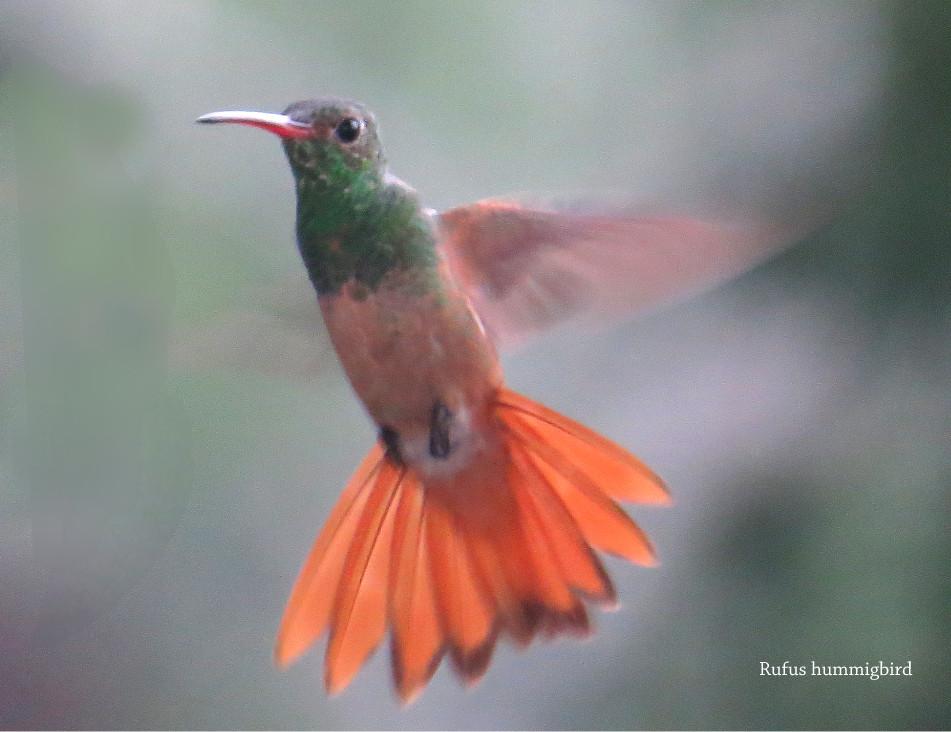 Hummingbird-Rufous.JPG