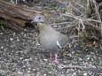 Dove - White Winged.JPG