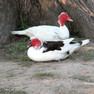 Duck - Muscovy.JPG
