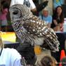 Owl - Barred.JPG