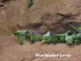 Parrot -Blue headed.JPG