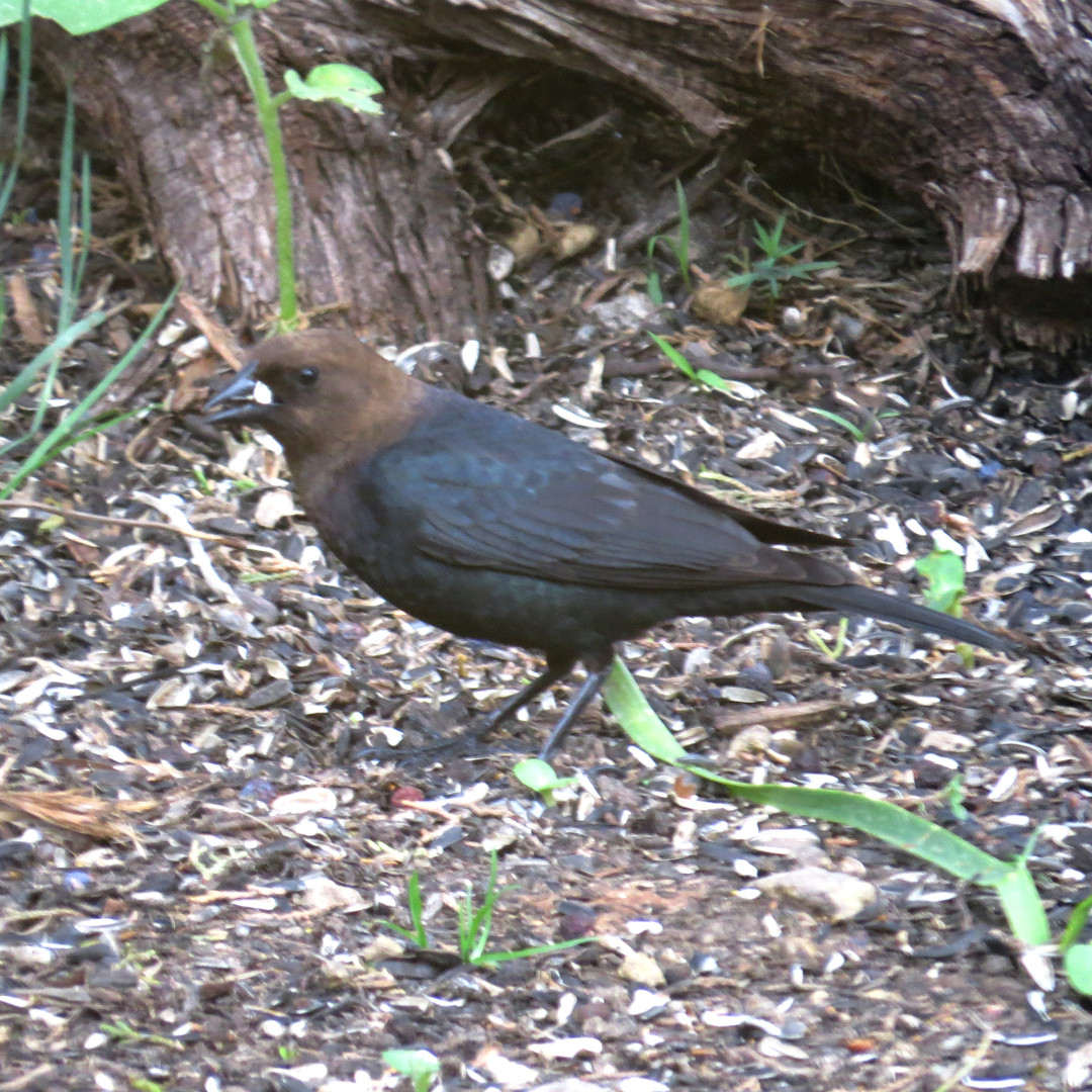 Cowbird - Brown Headed.JPG