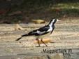 Lark -  Magpie F.JPG