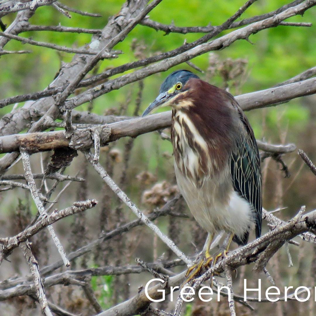 Heron - Green.JPG