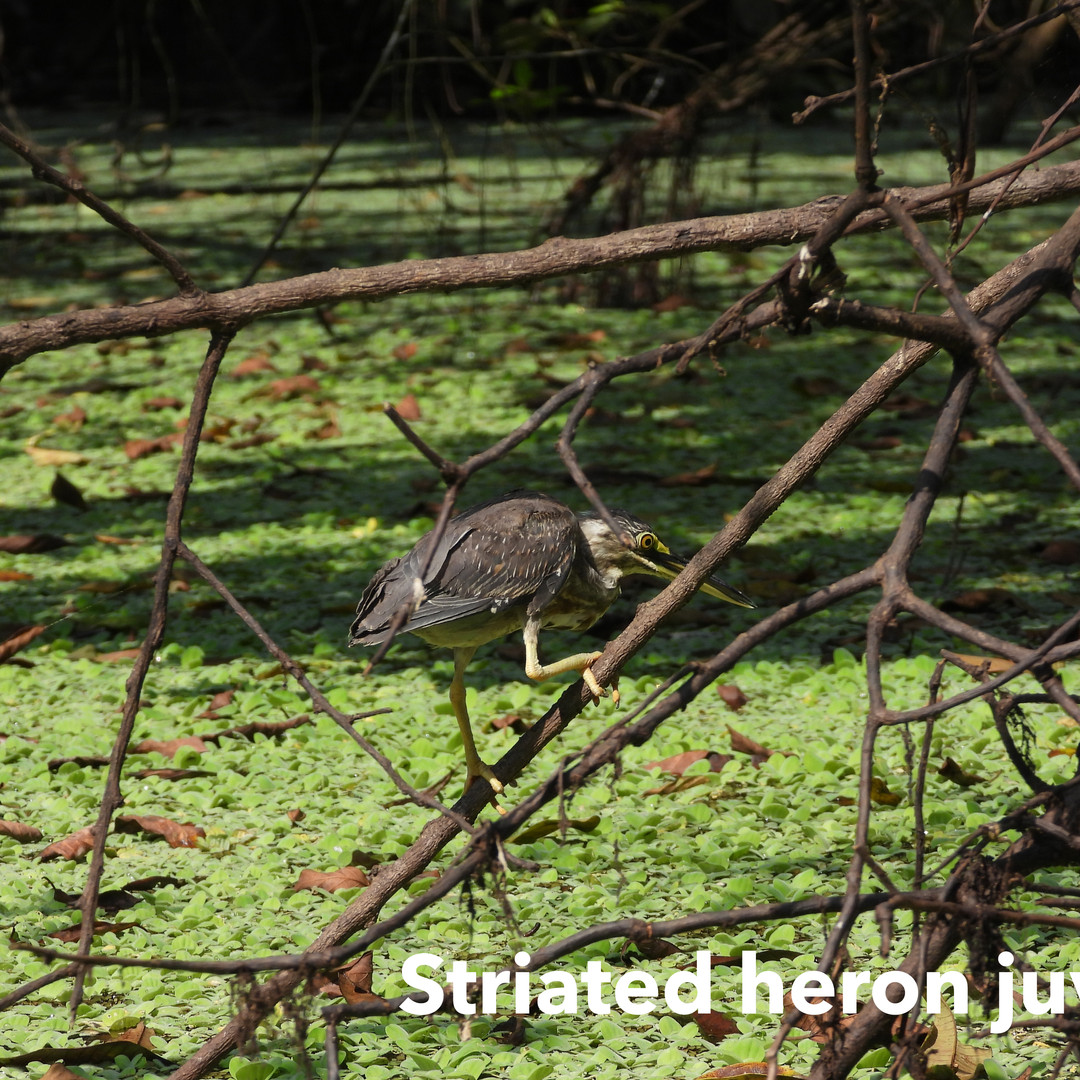 Heron-Striated.jpg