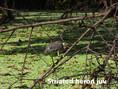 Heron-Striated.jpg
