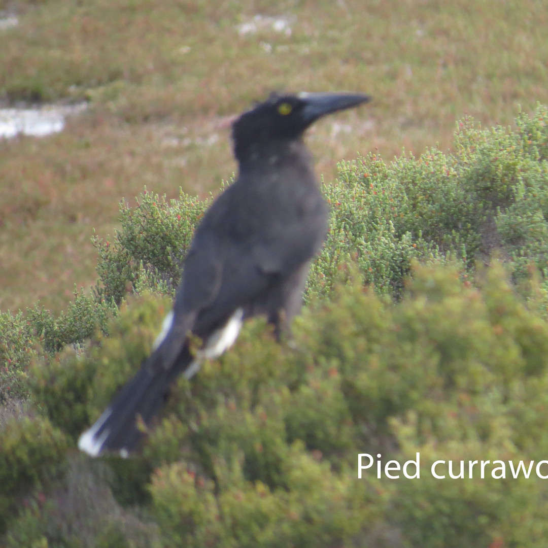 Currawong - Pied.JPG