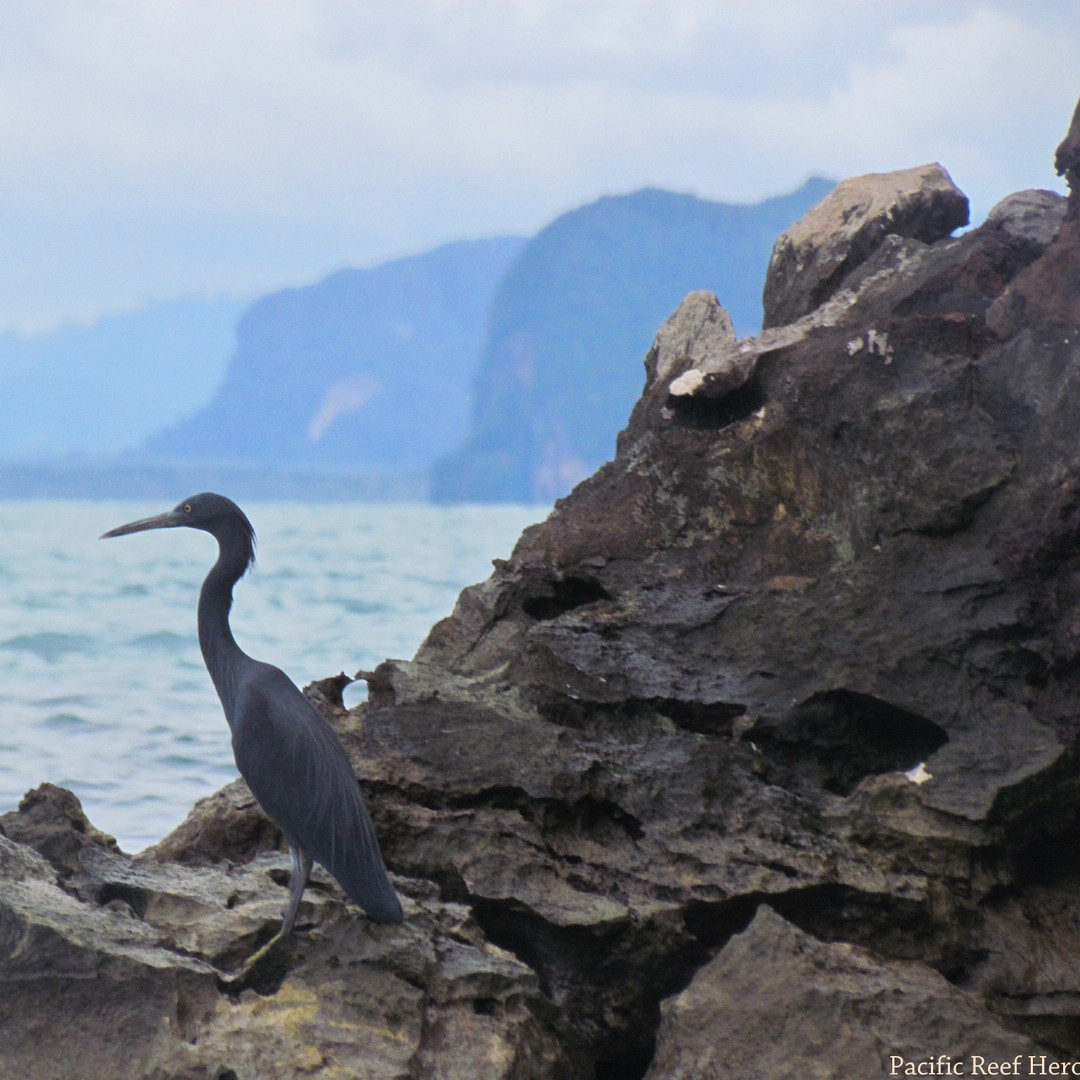 Heron - Pacific.JPG