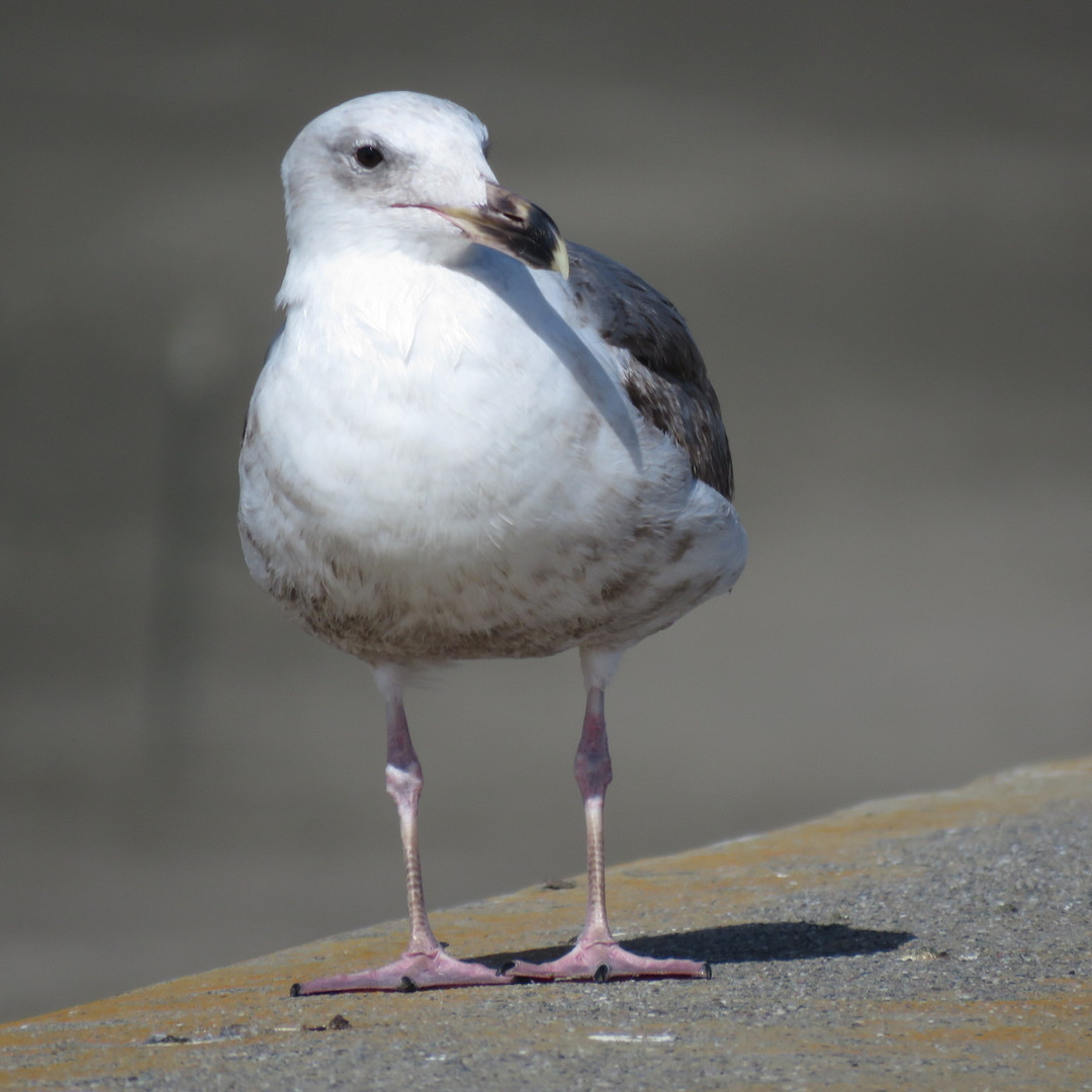 Gull-herring.jpg