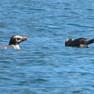 Penguin - Crested.JPG