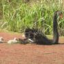 Swan-black.JPG