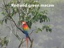 Macaw -red green.jpg