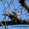 Pidgeon - Crested.JPG