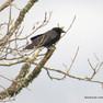 Crow - American.JPG