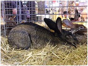 Les races de lapins les plus fréquentes