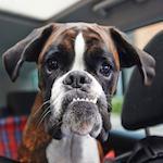 Un chien dans une voiture en plein soleil, que faire?