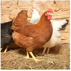 Les races de poules les plus fréquentes