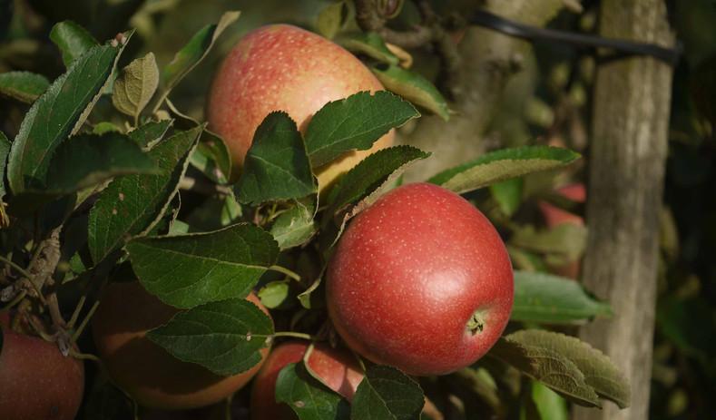 Apfelsorte Natyra - ein traumhaft, leckerer Apfel!