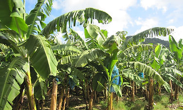 Roseau Banana Plantation 01.jpg