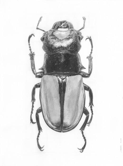 Odontolabis Lacordairei