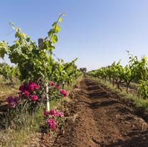valdargan-vineyards.jpg