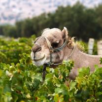 valdargan-camel1.jpg