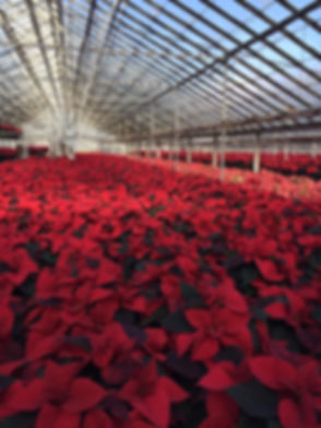 Schaefer Greenhouses Poinsettias.jpg