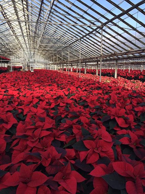 Schaefer Greenhouses Poinsettias.jpg