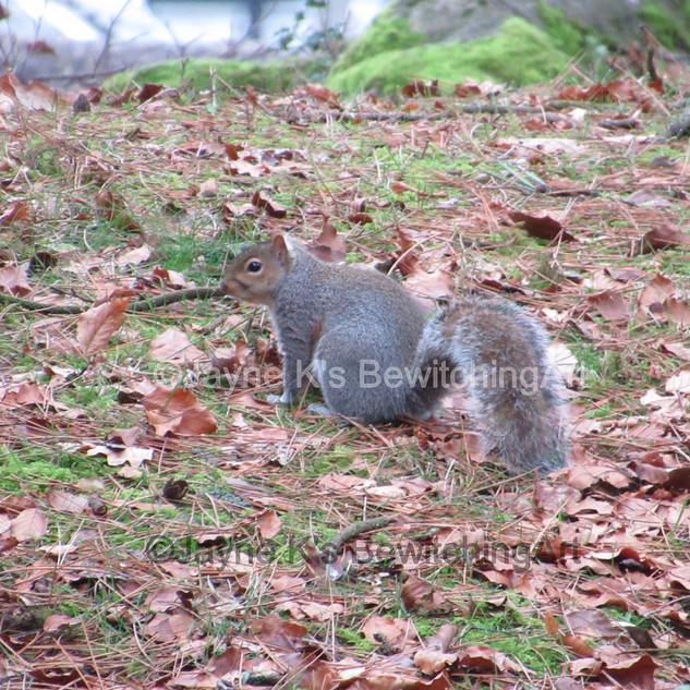 Squirrel, Aberdare Park.