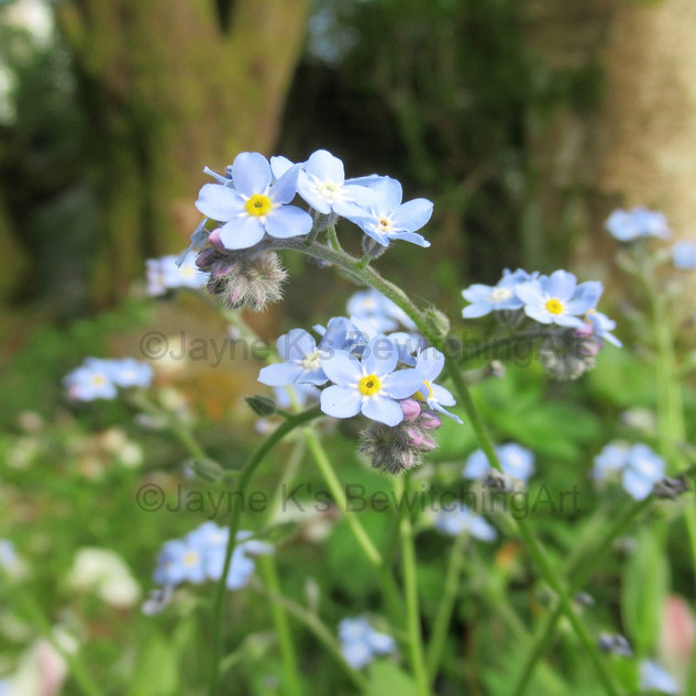 Forget-Me-Not