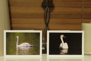 Aberdare Park swan.JPG