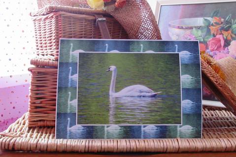 Swan - Aberdare Park Lake