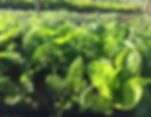 Pasto verde y sano