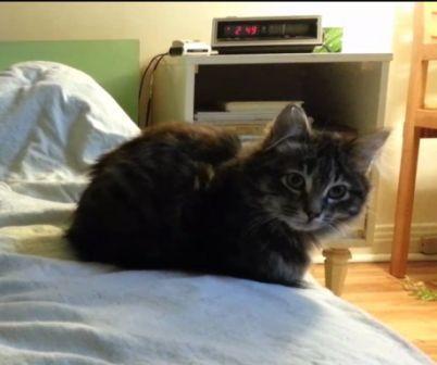 maison le chat botte- tabby poils longs -compresse.jpg