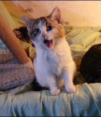 maison-le-chat-botte- chaton baille.jpg