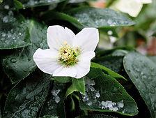 Rose_de_Noël-Couleur_de_Pixabay.jpg
