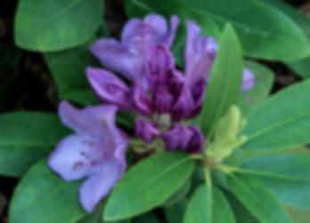 rhododendron-JamesDeMers de Pixabay.jpg