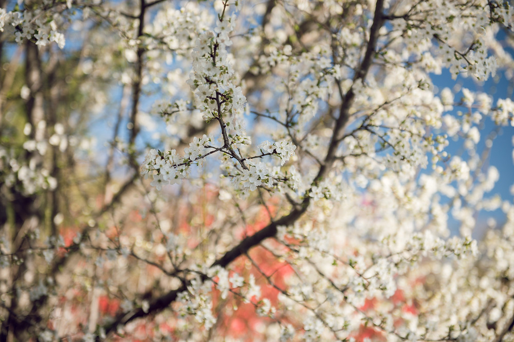 cherry blossoms, flowers, Julian, California, Adventure, Travel